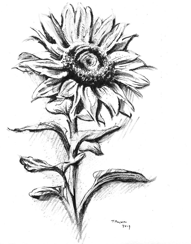 Pen N Ink Sunflower Drawing With John Sat Nov 16 Noon 2pm